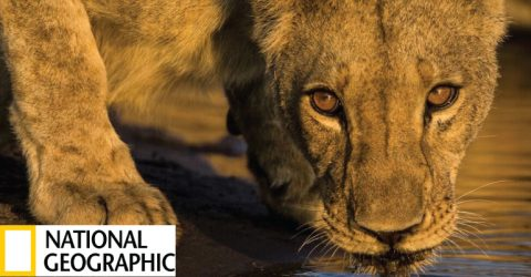 National Geographic Call for Proposals for Big Cats Conservation (Prize Money $100,000)